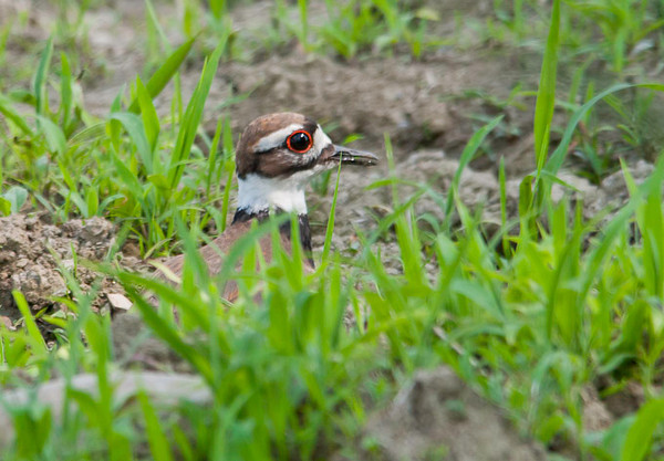 "<div class=""jaDesc""> <h4> Mother Killdeer Trying to Distract Me - June 21, 2012 </h4> <p> Mother Killdeer was trying very hard to distract my attention away from her 3 youngsters as they meandered along the dirt road in front of my truck.</p> </div>"
