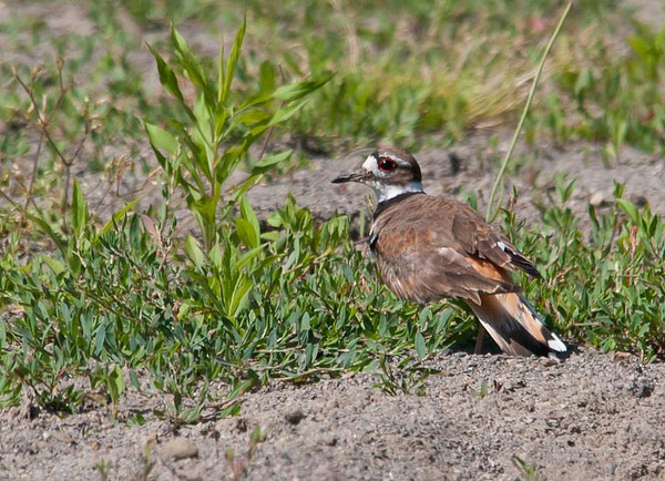 "<div class=""jaDesc""> <h4> Killdeer Near Nest in Horse Riding Arena - June 17, 2012 </h4> <p> This female Killdeer was taking a break from sitting on eggs.  Once she saw me moving a bit closer, she did her broken wing behavior to distract me from the area in a riding arena where she has her nest.</p> </div>"