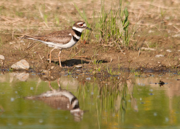 """<div class=""""jaDesc""""> <h4> Killdeer at Pond - May 23, 2012 </h4> <p> This Killdeer was feeding along the edge of a pond in Boiceville, NY.  It's pattern was to peck at the mud, then race to a new position to peck some more.</p> </div>"""