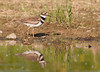 "<div class=""jaDesc""> <h4> Killdeer at Pond - May 23, 2012 </h4> <p> This Killdeer was feeding along the edge of a pond in Boiceville, NY.  It's pattern was to peck at the mud, then race to a new position to peck some more.</p> </div>"