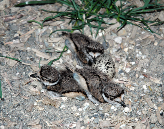 "<div class=""jaDesc""> <h4> Newborn Killdeer Chicks - June 2005</h4> <p>Three of the Killdeer eggs in a nest in our horse arena had hatched.  The fourth hatched soon after this photo was taken.  Within hours the chicks were racing around the arena and horse paddocks causing great stress for the parents who were trying their best to protect them.</p> </div>"