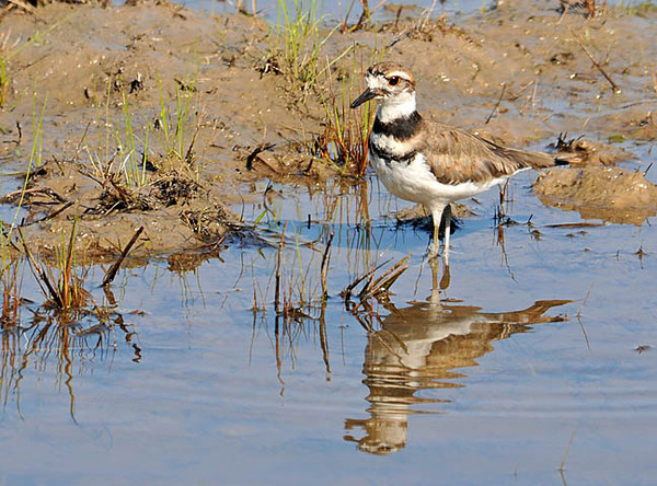 """<div class=""""jaDesc""""> <h4> Killdeer in Shallow Water - August 29, 2010</h4> <p> I came across several Killdeer foraging in shallow water along the loop road at the Montezuma Refuge on the north end of Cayuga Lake in New York.</p> </div>"""