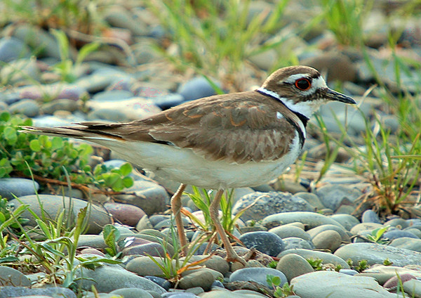 "<div class=""jaDesc""> <h4> Killdeer in Driveway - April 2005 </h4> <p> When they first arrive in spring, the killdeer scope out the area.  Here one is checking out our driveway.</p> </div>"