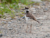 "<div class=""jaDesc""> <h4> Juvenile Killdeer #2 on Farm Road - June 21, 2012 </h4> <p> This juvenile Killdeer looked a bit smaller than her 2 siblings, but just as fluffy.</p> </div>"
