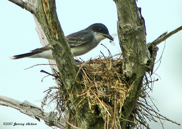 """<div class=""""jaDesc""""> <h4>Kingbird Feeding Chicks at Nest - June 2006 </h4> <p>   At Brick Pond in Owego, NY, I noticed a Kingbird making visits to her nest high up in a dead tree.  Here she is feeding a dragonfly to one of her chicks.</p> </div>"""