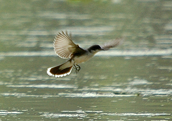 "<div class=""jaDesc""> <h4>Kingbird In-flight - June 2006 </h4> <p>   At a nearby water refuge area, this Kingbird was making the rounds of perches around the pond.</p> </div>"