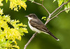 "<div class=""jaDesc""> <h4>Kingbird in Locust Tree - June 29, 2007 </h4> <p>  This Kingbird was looking for berries on our honeysuckle bushes.  He stopped in the locust tree briefly.</p> </div>"