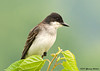 "<div class=""jaDesc""> <h4>Kingbird in Mulberry Tree - July 4, 2007 </h4> <p> Kingbirds are the size of a robin.  They are one of the largest flycatchers and usually perch along our pasture fence and catch grasshoppers. This year they came into our backyard in early summer to enjoy the berry trees and bushes.</p> </div>"