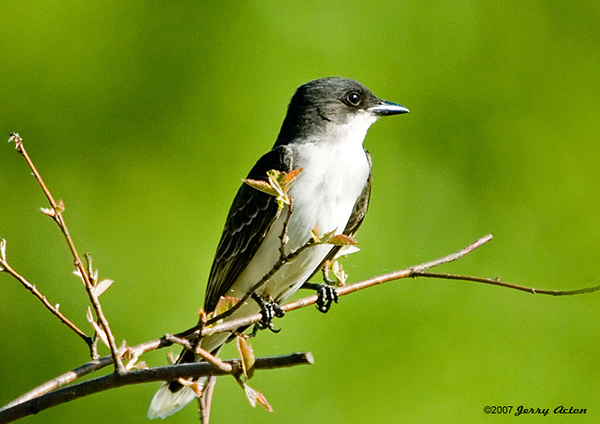 "<div class=""jaDesc""> <h4>Kingbird in Serviceberry Tree - June 1, 2007 </h4> <p>  This is the first year that the Kingbirds have come up to our backyard.  Normally they stay out along the pasture fences lines.  It must be the new berry-laden trees I planted in our backyard that attracts them. </p> </div>"