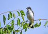 "<div class=""jaDesc""> <h4>Kingbird Looking for Bugs - July 17, 2016</h4> <p>Our Kingbird pair has been hanging out on the horse pasture fences, far from our yard.  Today is the first I have seen one in the yard.</p> </div>"