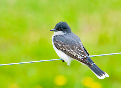 "<div class=""jaDesc""> <h4>Kingbird on Fence Wire - May 18, 2013 </h4> <p> This Kingbird flew across the road in front of my truck and landed on a fence wire.  He did not seem to mind me taking his picture.  After about 3 minutes he flew off into the cow pasture to catch flies buzzing around the manure piles.</p> </div>"