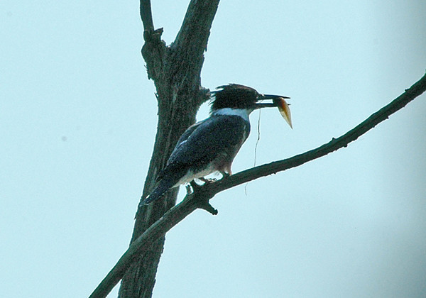 """<div class=""""jaDesc""""> <h4>Kingfisher with Lunch - July 2006 </h4> <p> It was very difficult to capture these hunters darting among the trees and diving for fish.  I finally got a so-so shot of this one with a polywog in its beak.</p> </div>"""