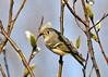 "<div class=""jaDesc""> <h4> Female Ruby Crowned Kinglet in Pussy Willows #1 - April 21, 2014 </h4> <p> In a thicket of pussy willow bushes I saw a tiny bird zooming around picking bugs off the buds.  After I spent several frustrating minutes trying to get this female Ruby-crowned Kinglet in focus through the branches, she popped out in the open.</p> </div>"