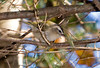 "<div class=""jaDesc""> <h4> Golden-crowned Kinglet Hiding - October 7, 2008 </h4> <p> Golden-crowned Kinglets were migrating through the Adirondak mountains while I was visiting with a friend in the Long Lake area.  They were very difficult to catch in a photo since they were constantly moving around in thick tree branches.  I managed to get one decent shot.</p> </div>"