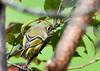 "<div class=""jaDesc""> <h4> Female Ruby Crowned Kinglet - Back View - October 15, 2013 </h4> <p>Here is a view of the back feathers of the female Ruby-crowned Kinglet.  I caught her with the morning sun highlighting them.</p> </div>"