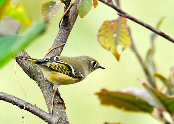 """<div class=""""jaDesc""""> <h4> Female Ruby Crowned Kinglet - Side View - October 15, 2013 </h4> <p>The Kinglets are migrating south.  I have seen this female Ruby-crowned Kinglet  in our serviceberry tree for 2 days.  She flits around the tree very quickly grabbing bugs.  She does not have a ruby on her crown like the male does.</p> </div>"""