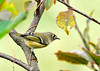 "<div class=""jaDesc""> <h4> Female Ruby Crowned Kinglet - Side View - October 15, 2013 </h4> <p>The Kinglets are migrating south.  I have seen this female Ruby-crowned Kinglet  in our serviceberry tree for 2 days.  She flits around the tree very quickly grabbing bugs.  She does not have a ruby on her crown like the male does.</p> </div>"
