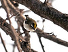 "<div class=""jaDesc""> <h4> Golden-crowned Kinglet Looking for Food - January 10, 2011 </h4> <p> A pair of Golden-crowned Kinglets were swiftly moving around through dense branching picking food of some sort out of cracks in the bark. I was lucky to get one in the frame.</p> </div>"
