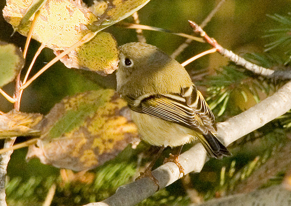 "<div class=""jaDesc""> <h4> Female Ruby Crowned Kinglet - October 2006 </h4> <p> It was a bit late in the season for Kinglets to be hanging around, this must have been one passing through.  This is the very first Kinglet shot I have been able to get.  They are very elusive in the brush.</p> </div>"