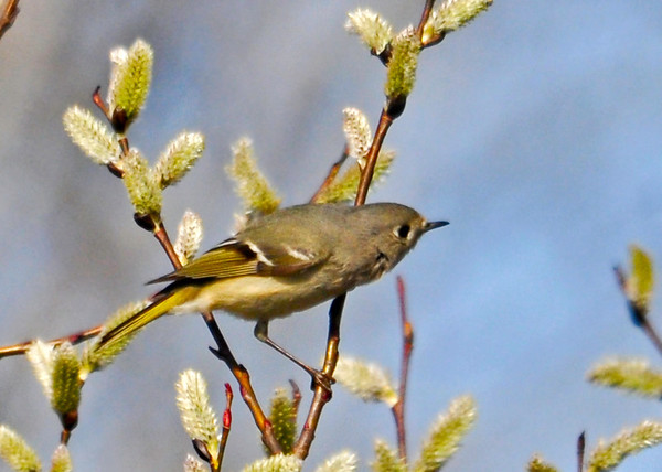 "<div class=""jaDesc""> <h4> Female Ruby Crowned Kinglet in Pussy Willows #2 - April 21, 2014 </h4> <p>Here she stopped briefly in a sunny spot while looking to move on to another bush.</p> </div>"