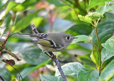 Female Ruby Crowned Kinglet Looking Right - October 6, 2018  These little bug eaters are smaller than a Chickadee.  She must be migrating alone, I never saw the male.