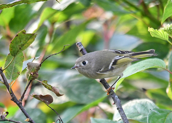 """<div class=""""jaDesc""""> <h4> Female Ruby Crowned Kinglet Looking for Bugs - October 6, 2018 </h4> <p>Just by chance, I noticed motion in our red-twig dogwood bush.  It turned out to be a female Ruby Crowned Kinglet moving among the twigs and leaves eating bugs.  I could only get a shot when it landed on a dead branch. </p> </div>"""