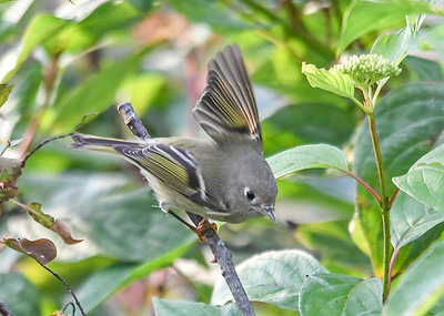Female Ruby Crowned Kinglet Regaining Balance - October 6, 2018  Looks like she is waving at me.  Actually she lost her balance and spread one wing to regain it.