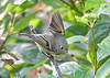 "<div class=""jaDesc""> <h4> Female Ruby Crowned Kinglet Regaining Balance - October 6, 2018 </h4> <p>Looks like she is waving at me.  Actually she lost her balance and spread one wing to regain it. </p> </div>"