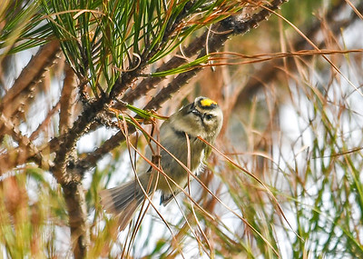 Golden-crowned Kinglet in Pine Tree - November 8, 2018  This male Golden-crowned Kinglet was moving quickly through a pine tree, pecking out the seeds in the cones.  Chincoteague NWR, VA.