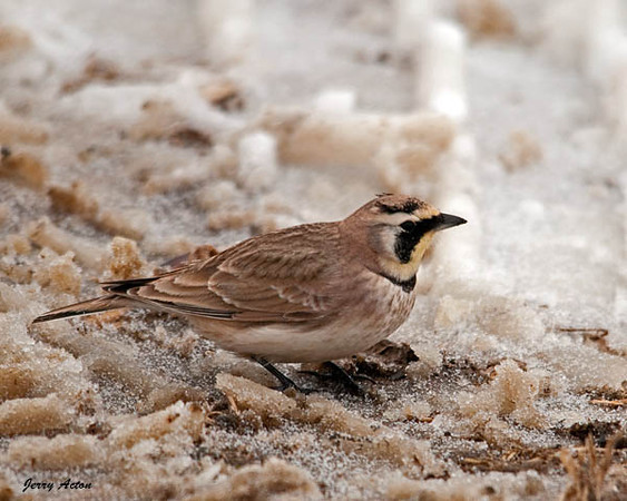 """<div class=""""jaDesc""""> <h4> Horned Lark in Icy Farm Field - February 24, 2010 </h4> <p> This is another shot of a Horned Lark that I got last year at this time. It reminds me to go looking for them again. They can usually be found on freshly manured farm fields.</p> </div>"""