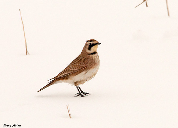 "<div class=""jaDesc""> <h4> Horned Lark in Snowy Cornfield - February 24, 2010 </h4> <p> At times, one of the group of eight Horned Larks would wander out onto a totally snow covered section of the cornfield.  Their movements are quick runs much like a Sandpiper you would see running along a beach.</p> </div>"