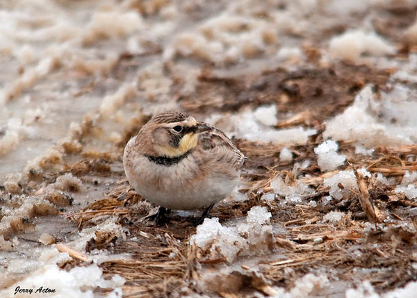 """<div class=""""jaDesc""""> <h4>Female Horned Lark - February 24, 2010 </h4> <p> This is one of the female Horned Larks that was in the group of eight.  She has duller yellow and black markings than the male and no black cap.</p> </div>"""