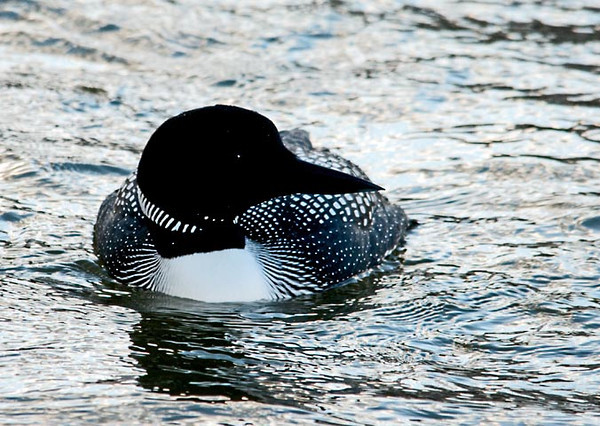 "<div class=""jaDesc""> <h4> Common Loon - Front View - April 17, 2011 </h4> <p> I had parked by the side of the road with my window down to get these shot of the loon without disturbing him. He did not seem to mind my presence at all. In this shot he was swimming straight toward me and came within about 30 feet.</p> </div>"