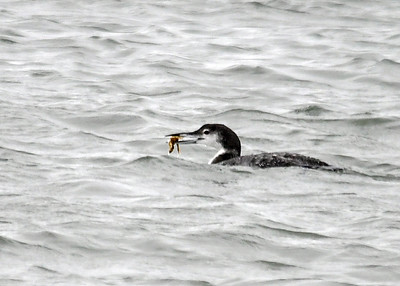 Common Loon Catches Crab - November 13, 2018