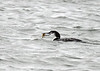"<div class=""jaDesc""> <h4> Common Loon Catches Crab - November 13, 2018 </h4> <p> </p> </div>"