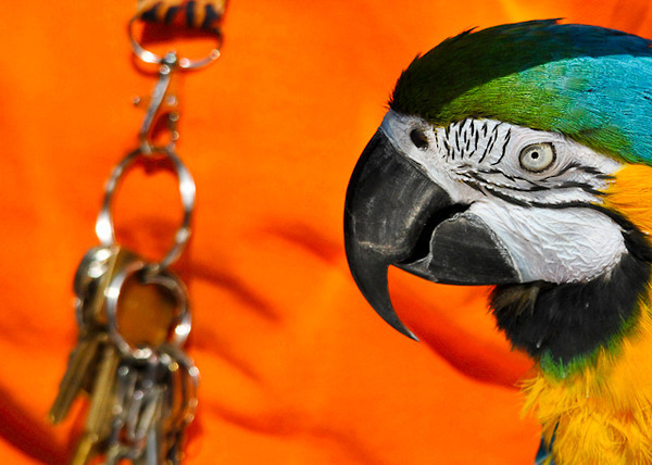 """<div class=""""jaDesc""""> <h4> Jewel Intrigued with Keys - September 20, 2013 </h4> <p>Jewel took a special interest in the shiny keys on her owner's key chain.</p> </div>"""