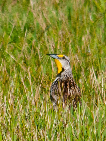 "<div class=""jaDesc""> <h4> Meadowlark in Tall Grass - June 26, 2012</h4> <p> This Eastern Meadowlark was on one of our horse pasture fence wires when my brother-in-law first noticed him.  He then flew down into the pasture to feed.  It looked like he was picking bugs from deep in the grass.  He would raise his head up periodically, letting the morning sun highlight his beautiful yellow markings.</p> </div>"