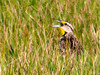 "<div class=""jaDesc""> <h4> Meadowlark Calling - June 26, 2012 </h4> <p> About every 5th time this Meadowlark would raise his head up from hunting bugs in the grass, he would call out.  Most likely he was trying to attract a mate.  Unfortunately we haven't seen him since this one brief visit.</p> </div>"