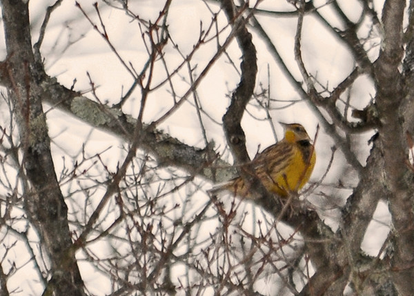 """<div class=""""jaDesc""""> <h4> Eastern Meadowlark - Front View - January 1, 2013</h4> <p> On our yearly Christmas Bird Count, we were very surprised to find a lone Eastern Meadowlark foraging along a back road near Lounsberry, NY.  He flew to a distant tree as we approached, but would return to the shoulder of the road when we were about 100 feet away.</p> </div>"""
