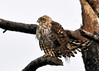 "<div class=""jaDesc""> <h4> Immature Merlin Side View - November 7, 2013</h4> <p> Merlins are a medium-sized falcon.  This bird's winter range is along the south-eastern shore line as far south as Florida.</p> </div>"