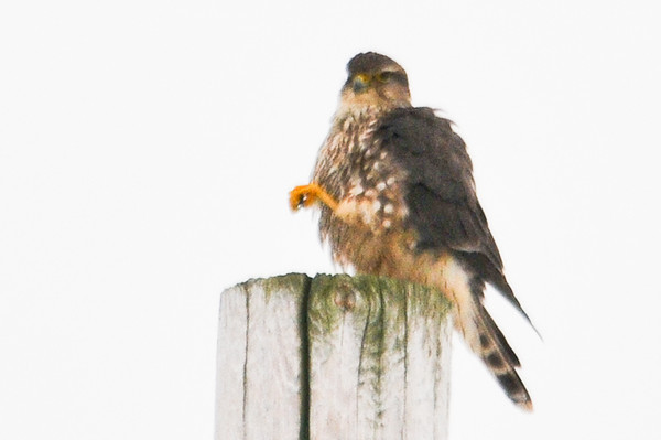 "<div class=""jaDesc""> <h4> Female Merlin Finished Scratching Her Cheek - January 31, 2012</h4> <p> Her claw was coming down after scratching her cheek feathers.</p> </div>"