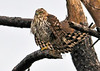 "<div class=""jaDesc""> <h4> Immature Merlin Resting on One Leg - November 7, 2013 - Video Attached</h4> <p> This immature Merlin is probably on a long, hard journey south and was resting in a stiff wind on a dead tree along the coastline on Asaateague Island in Virginia.  It is hard to tell whether this one is a male or female because the immature birds have brown feathers like the female.</p> </div> </br> <center> <a href=""http://www.youtube.com/watch?v=wF88Nr6z4s8"" class=""lightbox""><img src=""http://d577165.u292.s-gohost.net/images/stories/video_thumb.jpg"" alt=""""/></a> </center>"