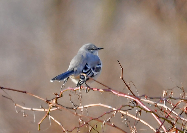 "<div class=""jaDesc""> <h4> Mockingbird in Wild Rosebush - January 1, 2017</h4> <p> We were surprised to see this Mockingbird while on our Bird Count for the Audubon Society.</p> </div>"