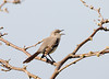 "<div class=""jaDesc""> <h4> Mockingbird Singing - April 23, 2008</h4> <p> While I was walking through a neighborhood, this Mockingbird landed in a front yard tree and started a long series of conversational calls.  They have an amazing vocal repertoire. </p> </div>"