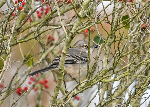 """<div class=""""jaDesc""""> <h4> Mockingbird in Holly Tree #1 - November 8, 2018</h4> <p> A Mockingbird flew across the road and was hiding from me in a Yaupon Holly tree at Assateague State Park.</p> </div>"""