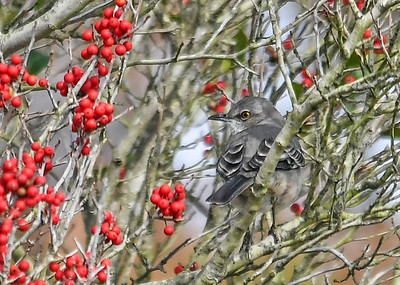 Mockingbird in Holly Tree #2 - November 8, 2018  He flew to a second tree with lots of berries.