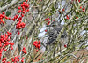 "<div class=""jaDesc""> <h4> Mockingbird in Holly Tree #2 - November 8, 2018</h4> <p> He flew to a second tree with lots of berries.</p> </div>"