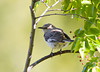 "<div class=""jaDesc""> <h4> Mockingbird Trying to Hide - May 25, 2008</h4> <p> It appears that the male Mockingbird has found a mate.  I think they have built a nest in a tree across the road.  In this shot, one of them is trying to hide in the serviceberry tree in our front yard.</p> </div>"
