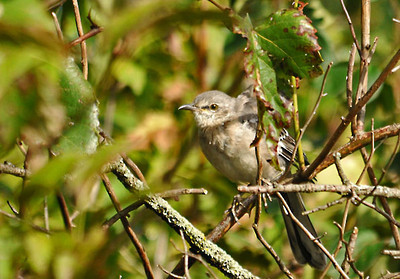 "<div class=""jaDesc""> <h4> Mockingbird Following Me - September 18, 2011</h4> <p> As I walked along a dense hedgerow, this Mockingbird kept following me. Periodically she would come out into the open to see exactly where I was.</p> </div>"