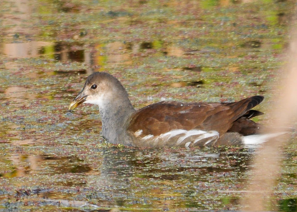 """<div class=""""jaDesc""""> <h4> Juvenile Common Moorhen Among Vegetation- September 27, 2012 </h4> <p> Common Moorhens feed on aquatic vegetation as well as snails and grasshoppers.</p> </div>"""